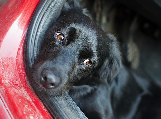 černý pes v autě