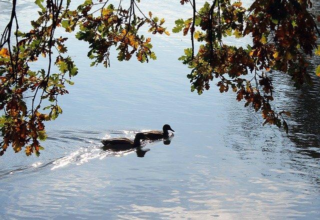kachny na rybníce